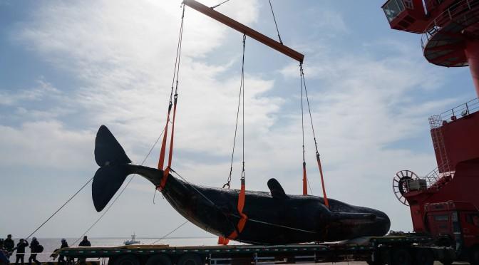 图片新闻:如东沿海滩涂搁浅抹香鲸获打捞