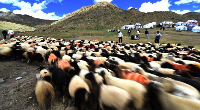 """图片新闻:西藏传统的""""数羊头""""比赛"""