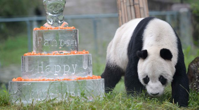 图片新闻:全球最老雄性大熊猫去世享年31岁