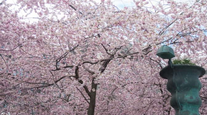 斯德哥尔摩国王花园的樱花依然在绽放