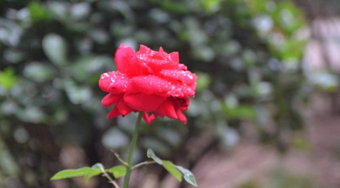 散文:第一朵玫瑰